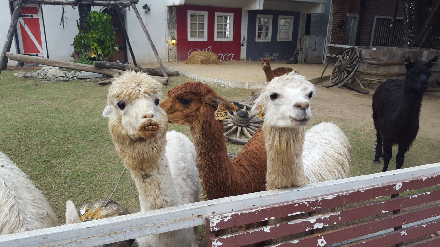 Feed alpacas alpaca view beyond khao san road for Alpaca view farm cuisine